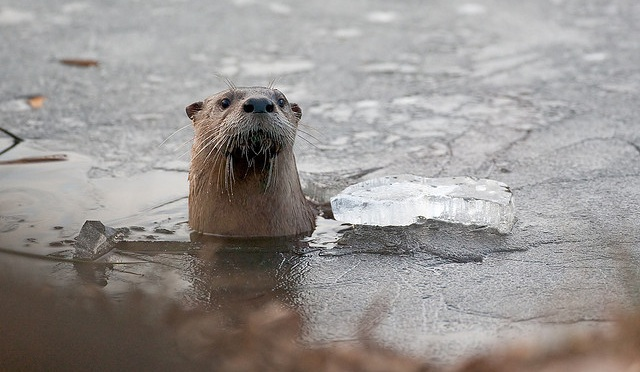 cold otter