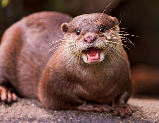 shouting otter