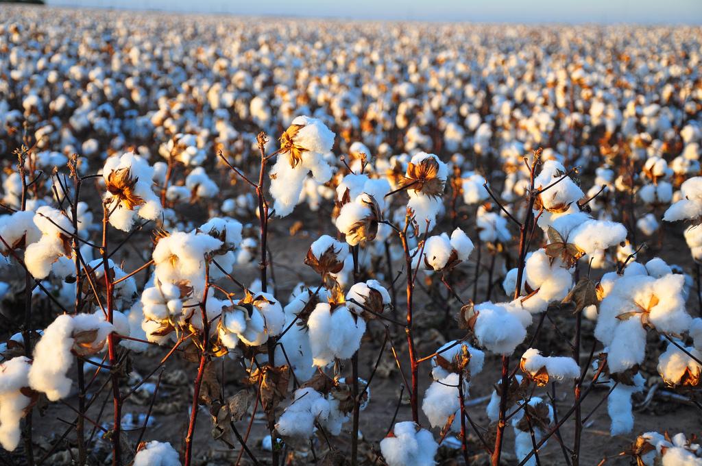 cotton4